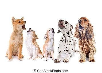 ululando, gruppo, cani