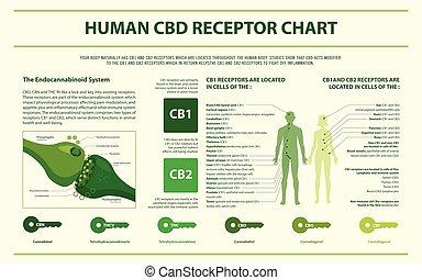 umano, infographic, grafico, orizzontale, cbd, recettore