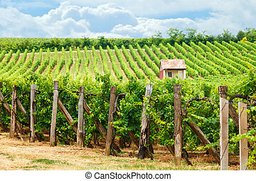 vecchio, blaufränkisch, vigneto, (blue, frankish), uva