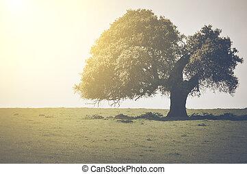 vendemmia, albero quercia, luce sole
