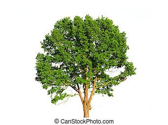 verde bianco, albero, isolato