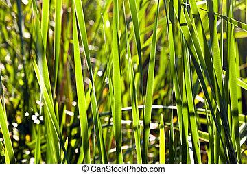 verde, canna, lago