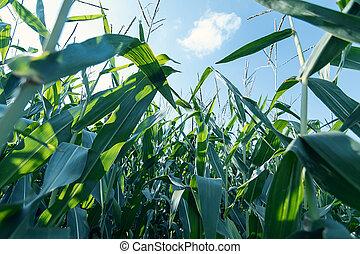 verde, granaglie, field.