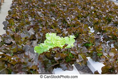 verdura, hydroponic, farm.