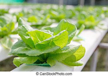 verdura, hydroponics, fattoria