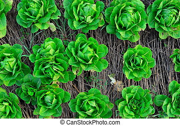 verdura, verde