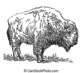 vettore, bisonte, disegno, illustrazione, mano