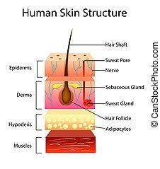 vettore, pelle umana, struttura, illustrazione