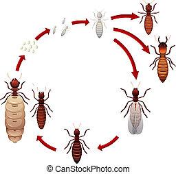 vita, termite, ciclo