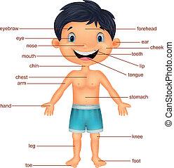 vocabolario, cartone animato, parte, corpo
