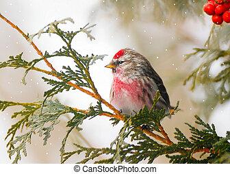 winter., maschio, comune, redpoll