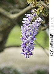 wisteria, fiori
