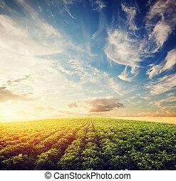 zona, agricoltura, patata, raccolto fattoria, campo, coltivato, sunset.